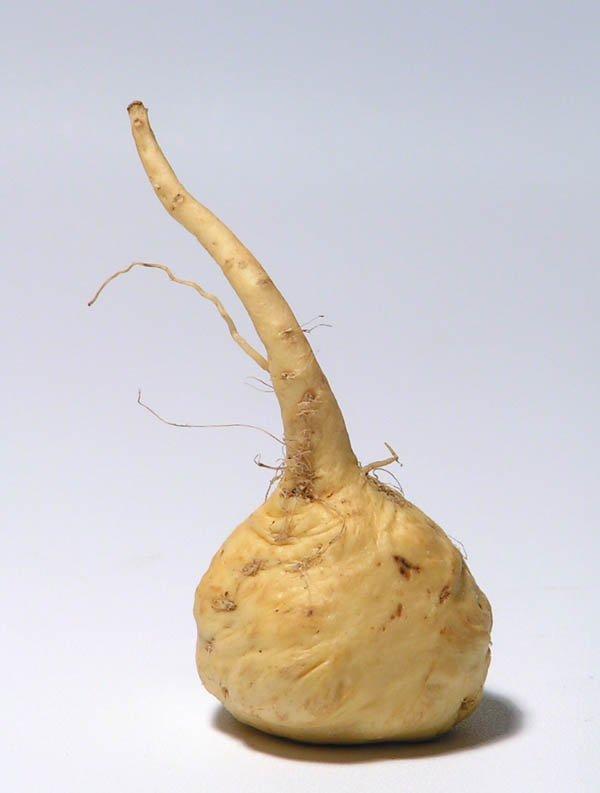 maca kořen