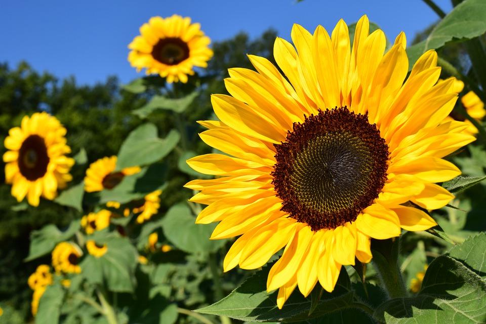rostoucí slunečnice